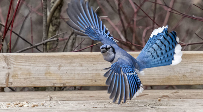Blue Jay Choosing Flight Over Fight