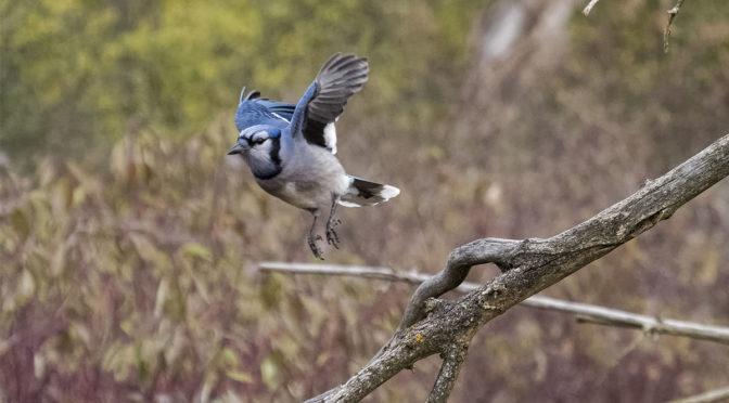 Blue Jay Taking Flight