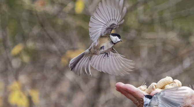 Chickadee Fighting Back