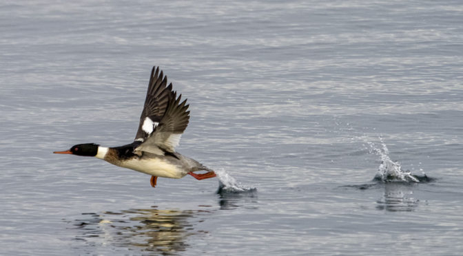 Red Breasted Mergansers In-Flight
