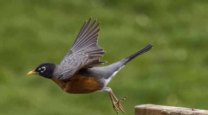 Robin Taking Flight