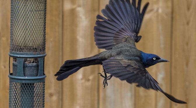 Grackle Taking Flight