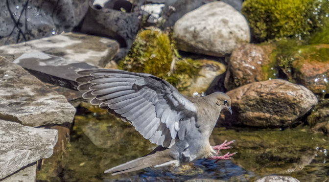 Dove Making Pond Landing