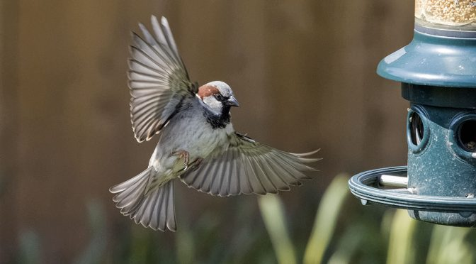 Sparrows Visiting Feeders