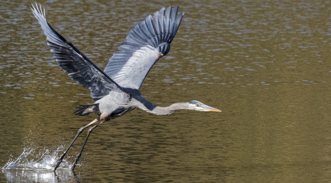 Great Blue Heron In-flight with E-M1X