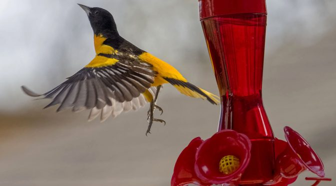 Baltimore Oriole at Feeder