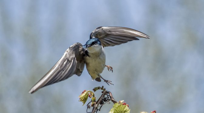 Swallow Taking Flight