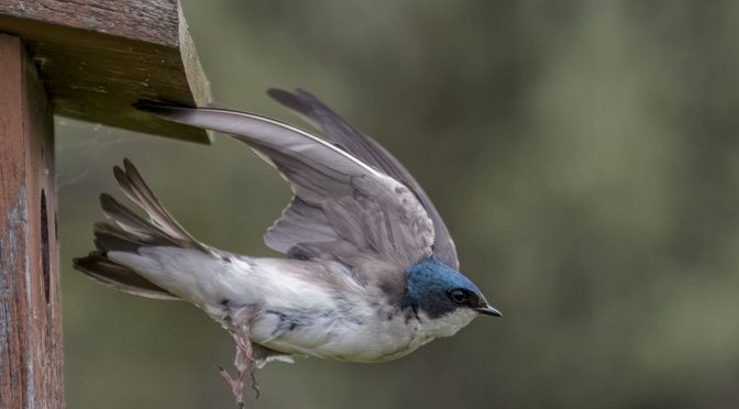 Swallow Leaving Home