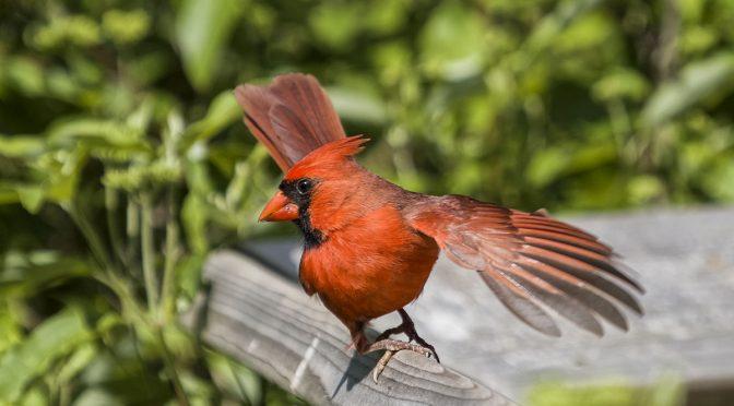 Cardinal Pirouette