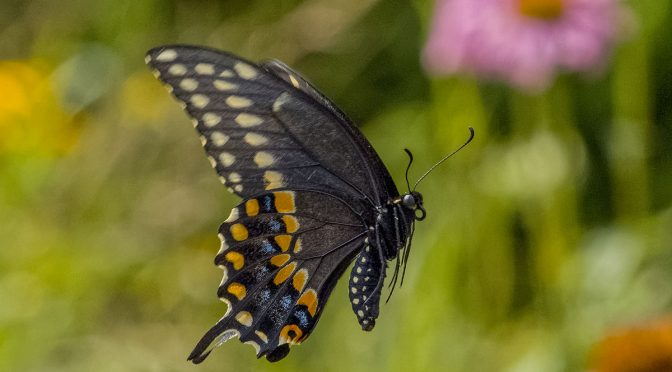Photographing Butterflies In-Flight