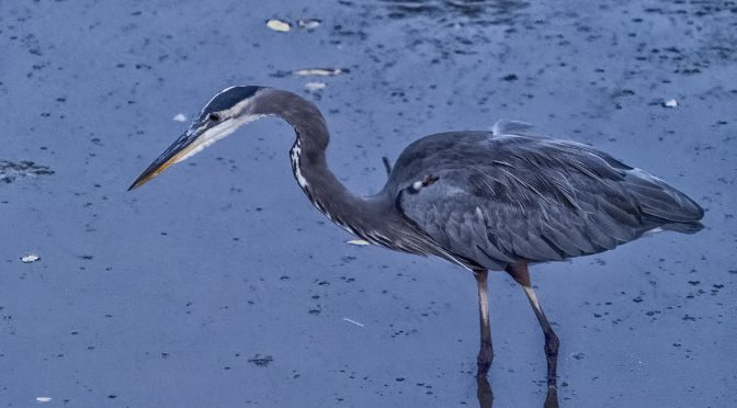 Heron Before Sunrise