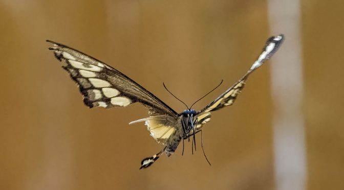 Injured Swallowtail In Flight
