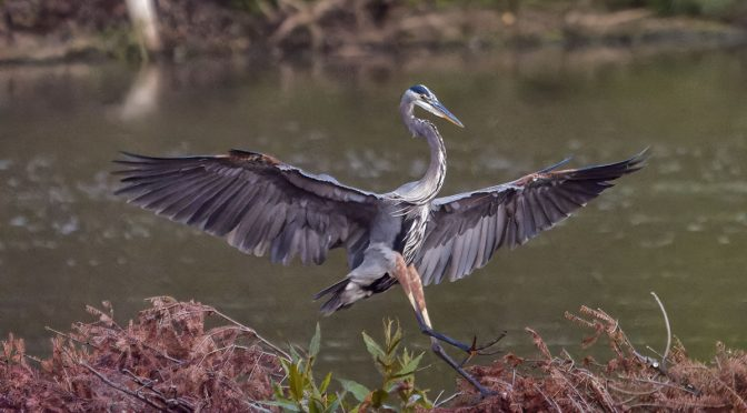 High ISO Heron In-Flight