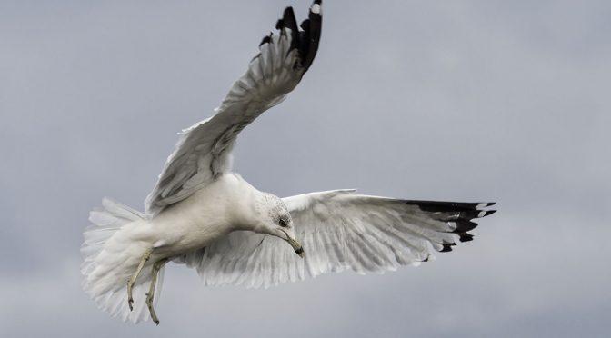 Gulls with Cluster Area C-AF