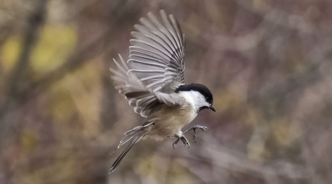 Chickadees at ISO-6400