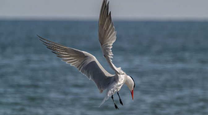 Tern in Mid-Air at 60 FPS