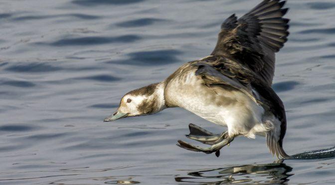 Ducks In Flight at 1600 MM