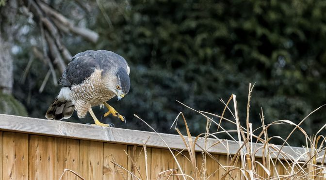Cooper's Hawk Returns