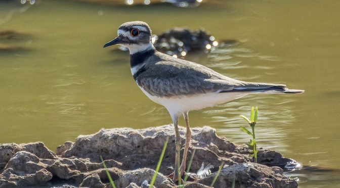 Photographing Killdeer in Cuba