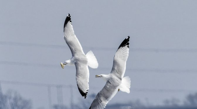 Gull Mid-Air Food Fights