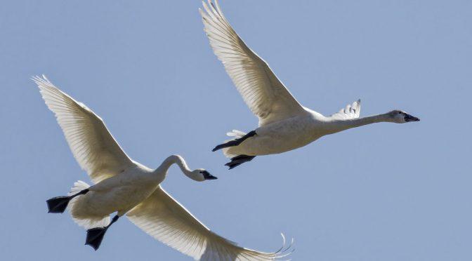 Tundra Swans in Aylmer