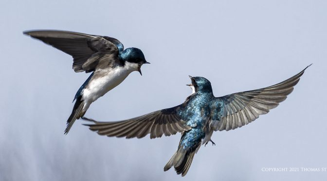 Pairs of Swallows