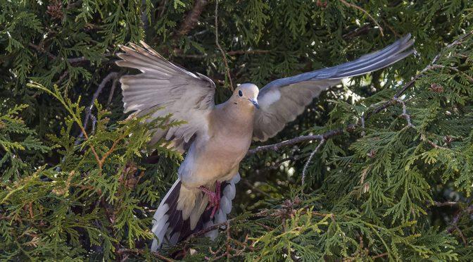 Mourning Dove Leaving Nest