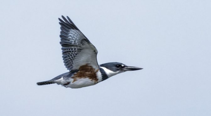 More Kingfishers in Flight