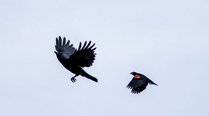 Aggressive Blackbird Test