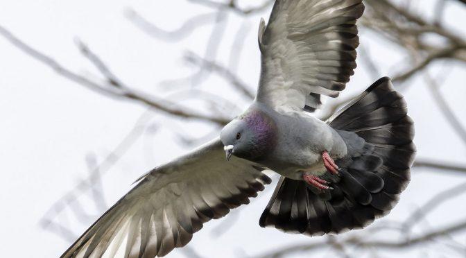 Backyard Pigeons