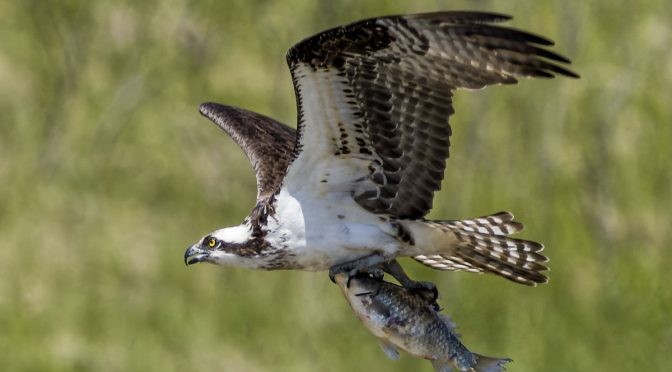 Osprey Aggressive Crops