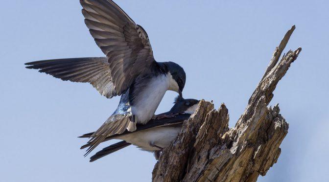 Swallows Mating