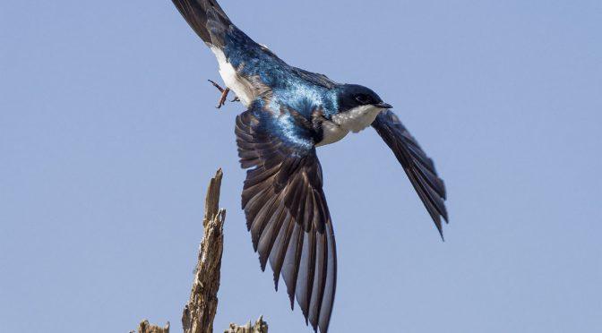 Swallows Taking Flight