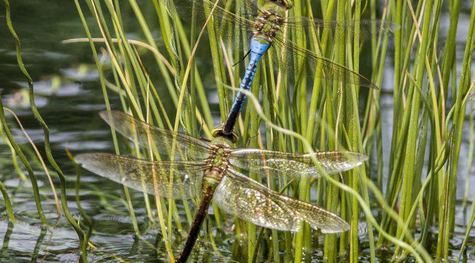 Joined Dragonflies In Flight
