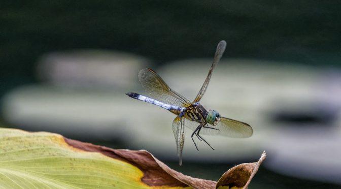 Dragonfly Landing at 1120 mm