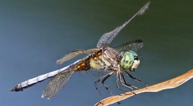 Focus Stacked Dragonfly