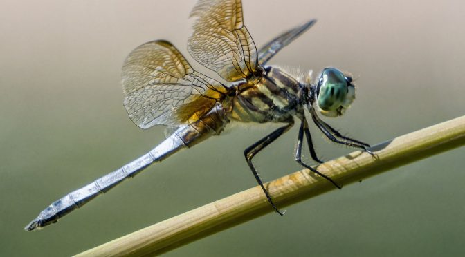 Dragonflies at 1600 mm