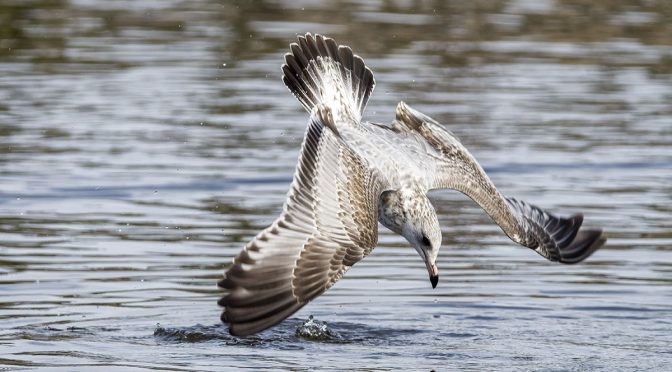 Surface Diving Gull