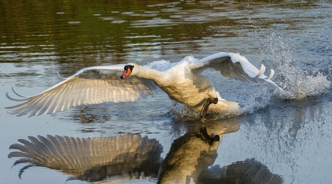 Reflections of a Swan Charge