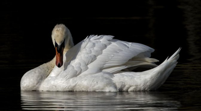 High Contrast Swan